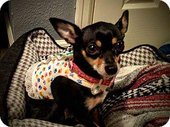 Chihuahua Dog for adoption in AUSTIN, Texas - Cuddles