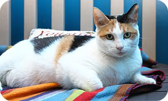 Calico Cat for adoption in Oakland, New Jersey - Hannah