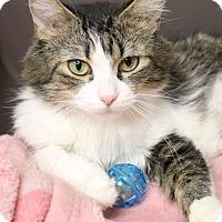 Adopt A Pet :: Brystol - Medina, OH
