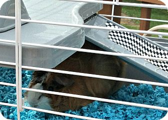 Guinea Pig for adoption in Livermore, California - Chubbie