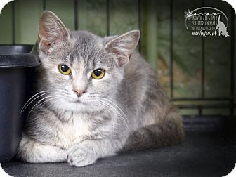 Domestic Shorthair Kitten for adoption in Marlinton, West Virginia - Rocco--RESCUED!