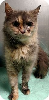 Domestic Longhair Cat for adoption in Franklin, Georgia - 57416 Time Up