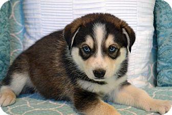 Siberian Husky/Labrador Retriever Mix Puppy for adoption in Bedminster, New Jersey - Zephyr