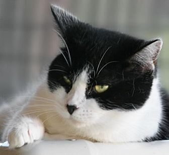 Domestic Shorthair Cat for adoption in North Fort Myers, Florida - Sophie