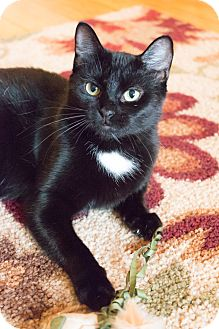 Domestic Shorthair Cat for adoption in Chicago, Illinois - Dream Catcher