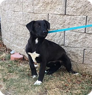 Border Collie/Labrador Retriever Mix Puppy for adoption in Plainfield, Connecticut - Kim is in Rhode Island!