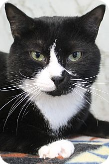 Domestic Shorthair Cat for adoption in Richand, New York - Cruller