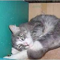 Domestic Mediumhair Cat for adoption in Los Angeles, California - Charlie