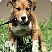 Adopt A Pet :: Wyatt - Windham, NH