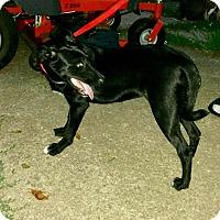 Adopt A Pet :: Darla - Syracuse, NY