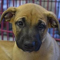 Adopt A Pet :: Luke - Pahrump, NV