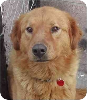 Golden Retriever Mix Dog for adoption in El Segundo, California - Buddy