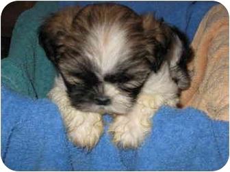 Shih Tzu Puppy for adoption in Arlington Heights, Illinois - Shih Tzu Puppy Male