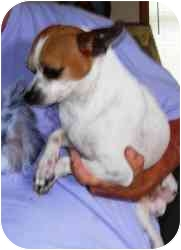 Chihuahua/Jack Russell Terrier Mix Dog for adoption in Homer, New York - Wally