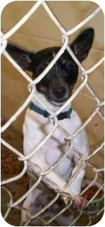 Rat Terrier Mix Dog for adoption in Fort Polk, Louisiana - Tinker