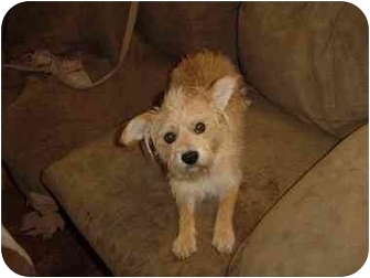 Terrier (Unknown Type, Small) Mix Dog for adoption in Chilliwack, British Columbia - Noah