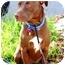 Photo 4 - Labrador Retriever/American Pit Bull Terrier Mix Dog for adoption in Berkeley, California - Charlotte
