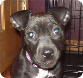Labrador Retriever/Terrier (Unknown Type, Medium) Mix Puppy for adoption in Southport, North Carolina - Riley