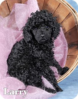 Poodle (Miniature) Puppy for adoption in Broadway, New Jersey - Larry