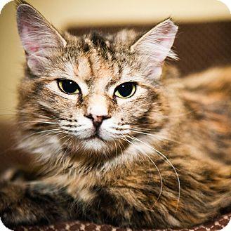 Domestic Mediumhair Cat for adoption in Toronto, Ontario - Stella