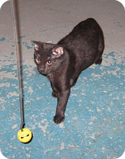 Domestic Shorthair Cat for adoption in Geneseo, Illinois - Bunny