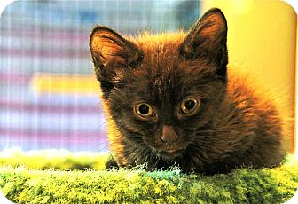 Domestic Mediumhair Kitten for adoption in Victor, New York - Olive