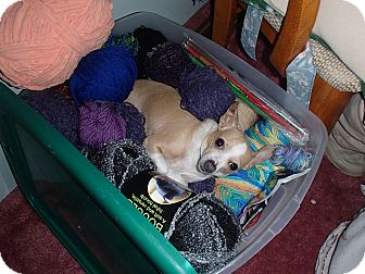 Chihuahua Dog for adoption in Seattle, Washington - Charlie 2