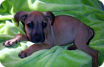 Boxer Mix Puppy for adoption in Largo, Florida - Barley