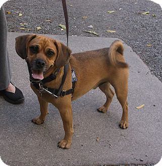 Beagle/Pug Mix Dog for adoption in Sonoma, California - Gus