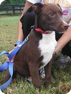 Labrador Retriever Mix Puppy for adoption in Chapel Hill, North Carolina - Magic