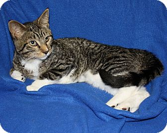 American Shorthair Cat for adoption in Rochester, New York - Tacos