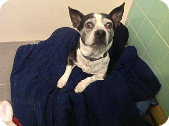 Boston Terrier/Corgi Mix Dog for adoption in Wilmington, Delaware - Winnie