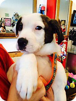 Australian Shepherd/American Bulldog Mix Puppy for adoption in Miami, Florida - Snow