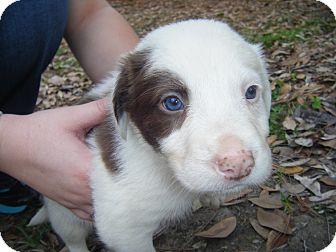 Collie Mix Puppy for adoption in Covington, Louisiana - Luke