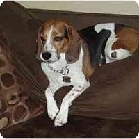 Adopt A Pet :: Buddy Boo - Phoenix, AZ