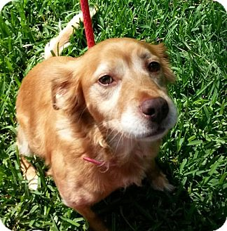 Golden Retriever Mix Dog for adoption in Kingwood, Texas - Suzy