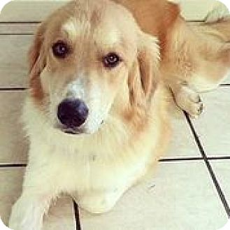 Border Collie/Anatolian Shepherd Mix Dog for adoption in Austin, Texas - Hank