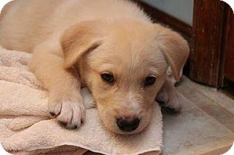 Labrador Retriever/Husky Mix Puppy for adoption in Macon, Georgia - Boris