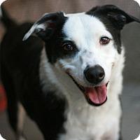 Adopt A Pet :: Pixie - Canoga Park, CA