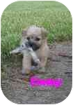 Cairn Terrier/Poodle (Standard) Mix Puppy for adoption in Wauseon, Ohio - Emmy