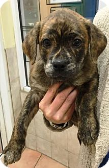 Labrador Retriever/American Bulldog Mix Puppy for adoption in Miami, Florida - Francine