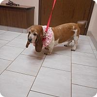 Adopt A Pet :: Mazey - Barrington, IL