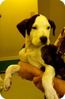 Pit Bull Terrier Puppy for adoption in Bloomington, Illinois - Apache