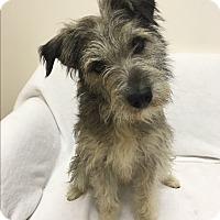 Adopt A Pet :: Trevi - Mission Viejo, CA
