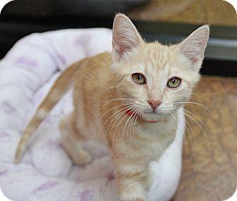 Domestic Shorthair Kitten for adoption in Benbrook, Texas - Alice