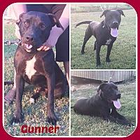 Labrador Retriever/Pit Bull Terrier Mix Dog for adoption in Malvern, Arkansas - GUNNER
