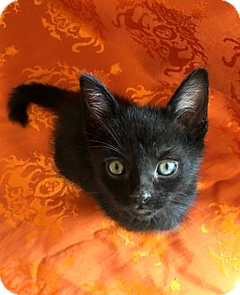 Domestic Shorthair Kitten for adoption in Los Angeles, California - Mitchell the LOVER