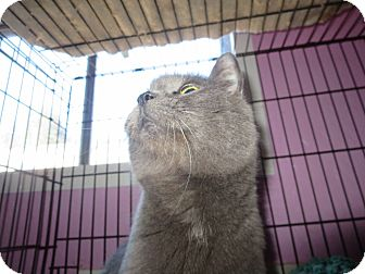 Russian Blue Cat for adoption in Coos Bay, Oregon - Lucy in the sky