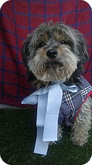 Lhasa Apso Dog for adoption in Irvine, California - HENRY