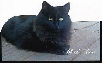 Domestic Longhair Cat for adoption in Calimesa, California - Black Bear